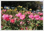 与野バラ祭り